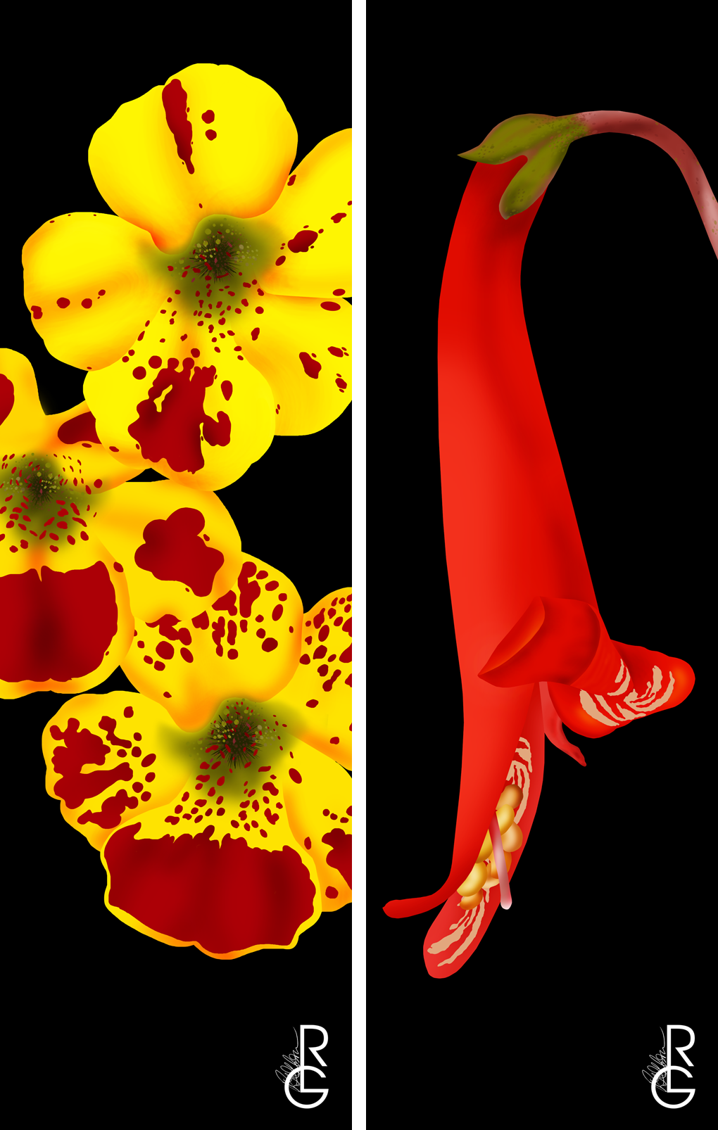 (left to right) Bigelow's Monkeyflower & Firecracker Penstamon, digitial illustration,by R.L. Gibson